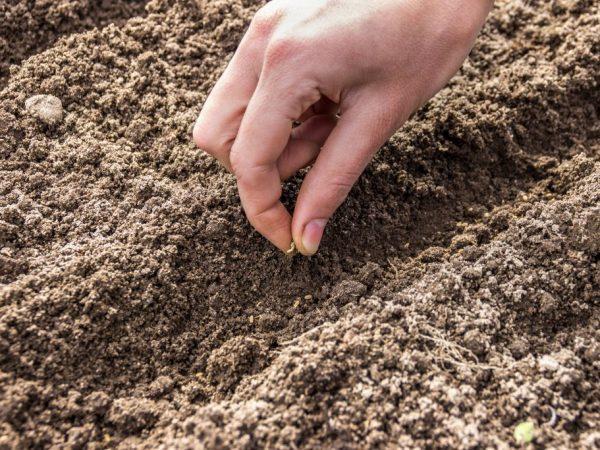 Садим семечки в рыхлую землю