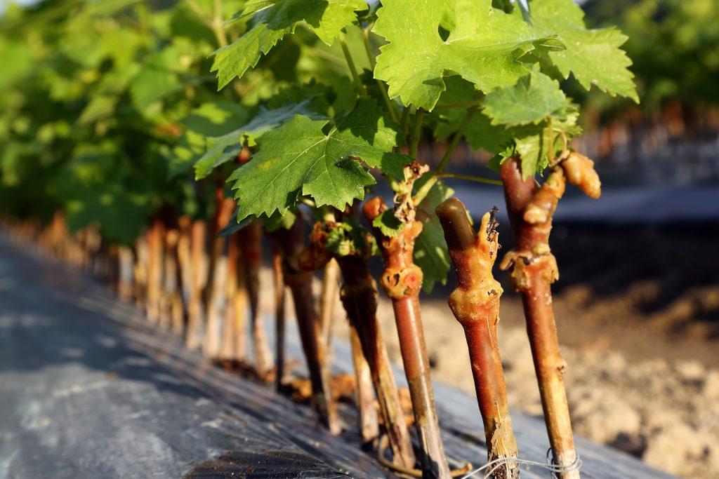 Посадка винограда осенью черенками в средней полосе
