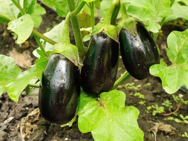 Правила выращивания баклажанов
