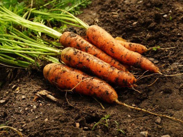 Морковь различается по внешнему виду и вкусу
