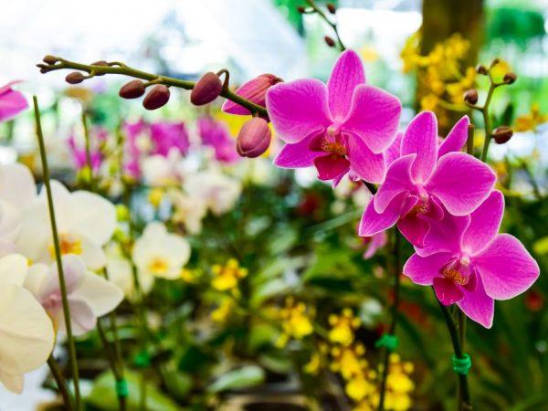 Как избавиться от паутинного и панцирного клеща на орхидеях