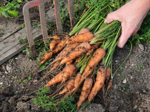 Морковь следует убирать вручную