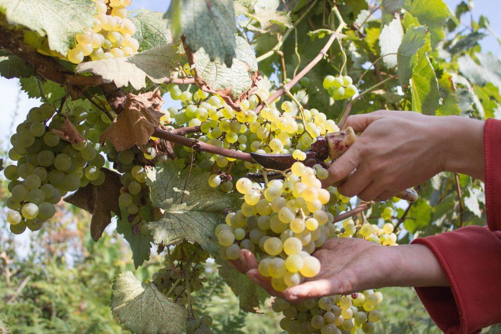 Виноград коринка русская описание сорта