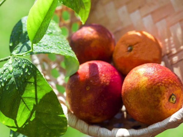 Вырастить красный мандарин дома невозможно
