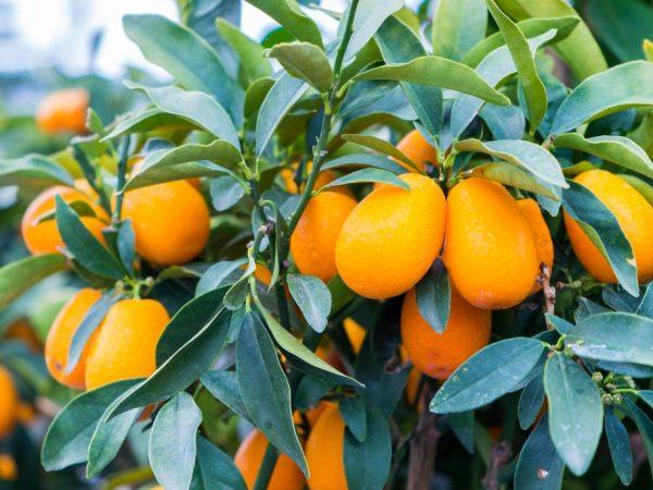Сорт Нагами лучше всех подходит для выращивания дома