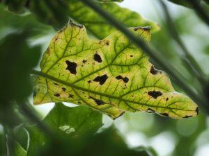 Листья сохнут и увядают