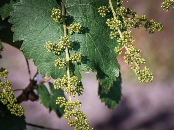 Виноград опыляется ветром