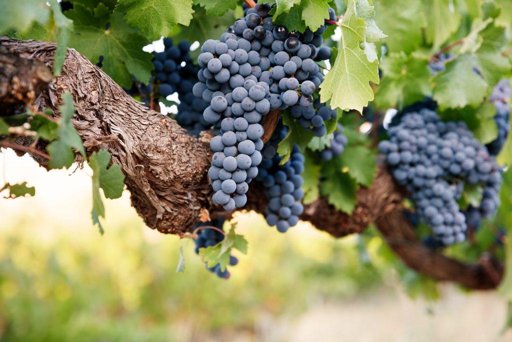 Строение виноградной лозы и уход за ней