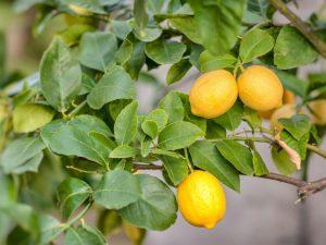Описание лимона сорта Мейера
