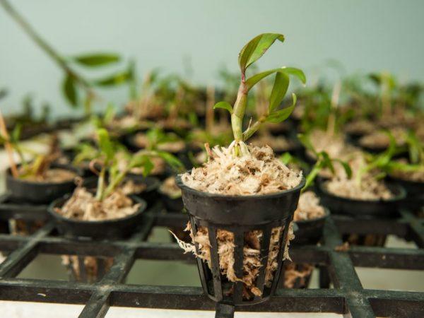 Размножение происходит вегетативным и семенным способами