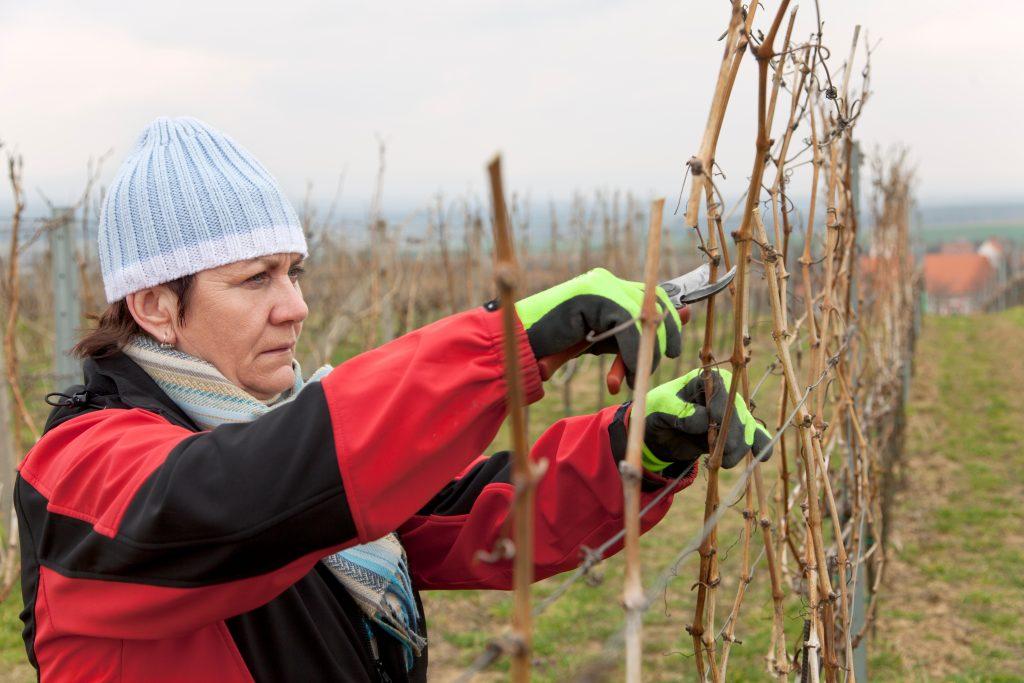 Чем можно опрыскать виноград осенью от вредителей и болезней