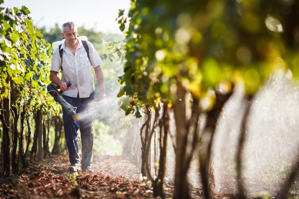 Виноград перед цветением чем обрабатывать уход опрыскивание прищипка