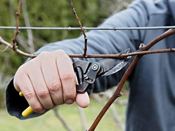 Особенности обрезки винограда