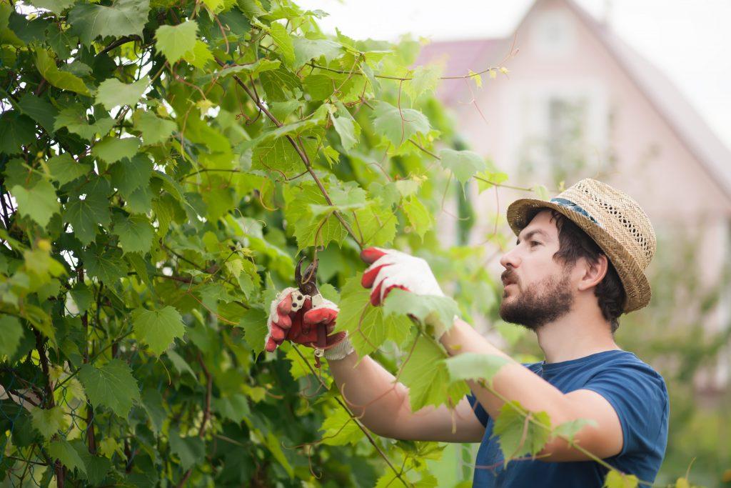 Обрезка винограда во время плодоношения