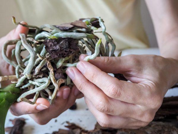 Повреждённые корни в керамзите быстрей восстановятся
