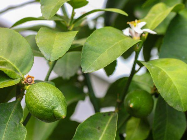 Регулярно осматривайте растение на наличие признаков заболевания