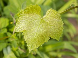 Почему у винограда светлые листья