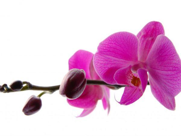 Причины опадения бутонов у орхидей