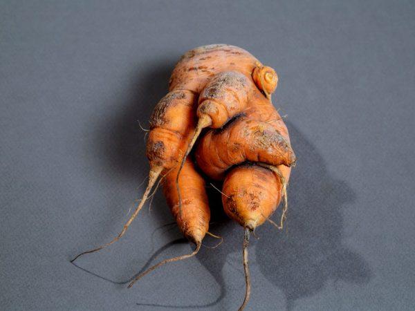 Морковь искривляется от засухи
