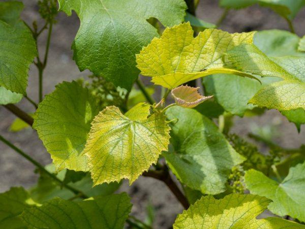 Причины пожелтения листьев у винограда
