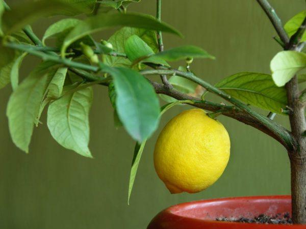 Правила полива лимона в домашних условиях