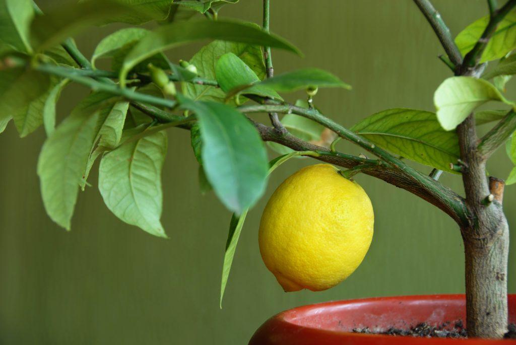 Как часто поливать лимон