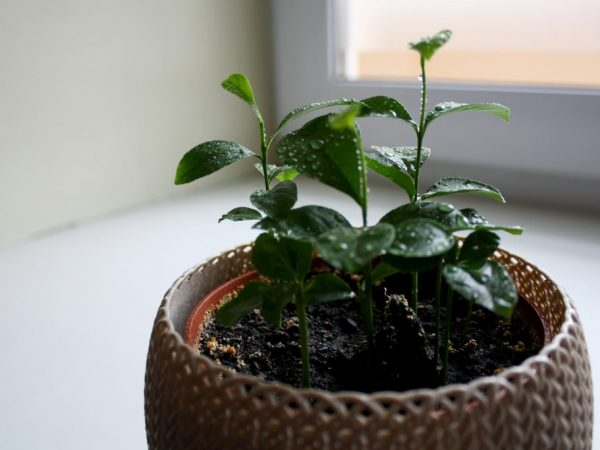 Частота поливов зависит от возраста растения