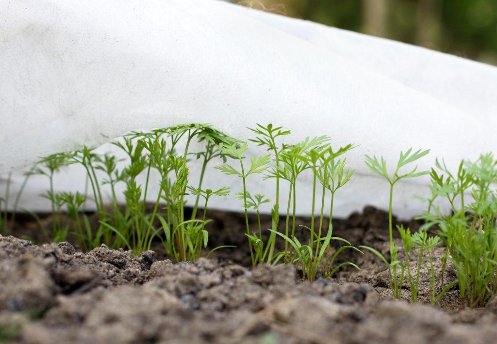 Правила посадки моркови под зиму