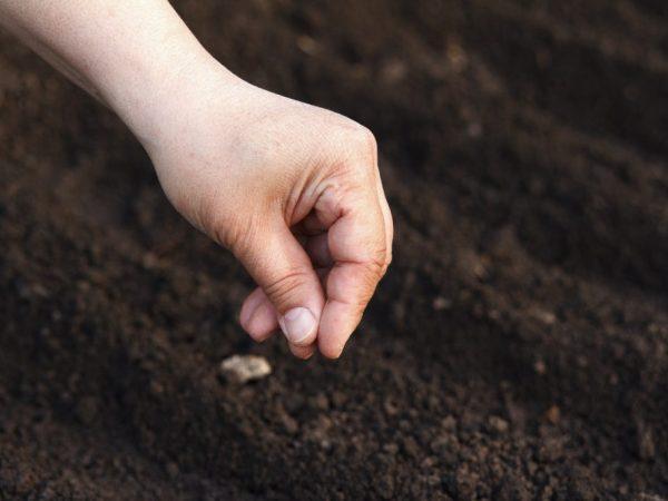 Сеять морковь нужно в прогретую землю