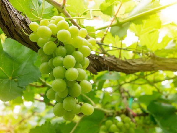 Описание сорта винограда Продюсер