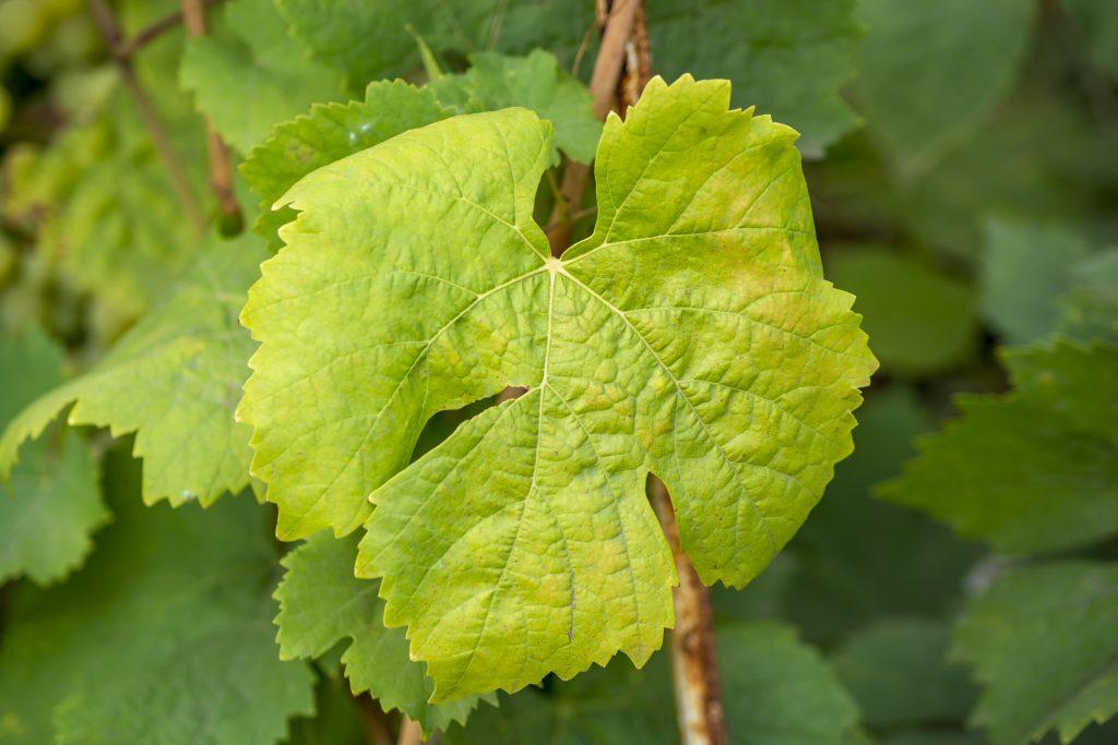 Пятна на листьях винограда: что это