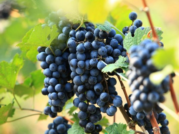 Самые популярные сорта раннего винограда