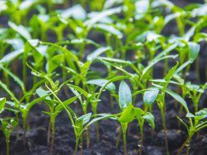 Особенности посева рассады баклажанов и перцев