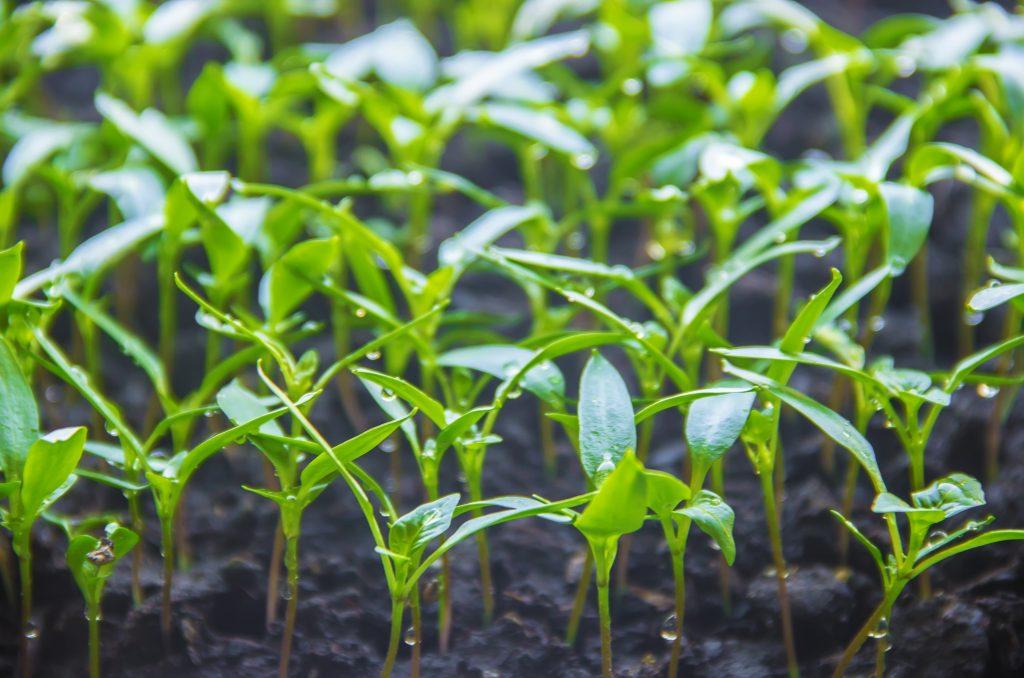 Посев семян перца и баклажан на рассаду