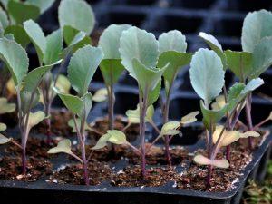 Почему вытянулась рассада капусты