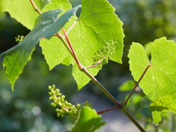 Правильный уход повысит урожайность растения
