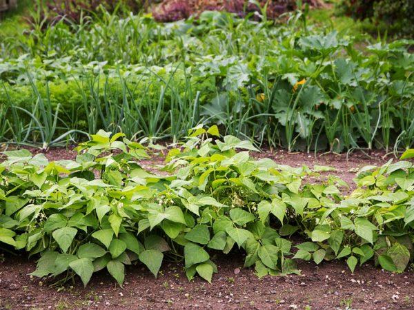 Бобовые обогащают почву азотом