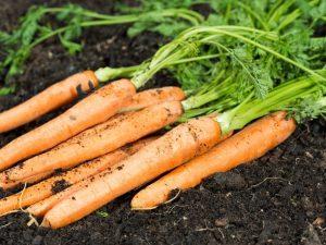 Описание моркови Самсон