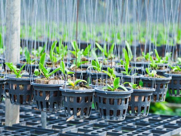 Как вырастить орхидею из семян