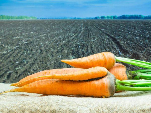 Полезна сырая морковь