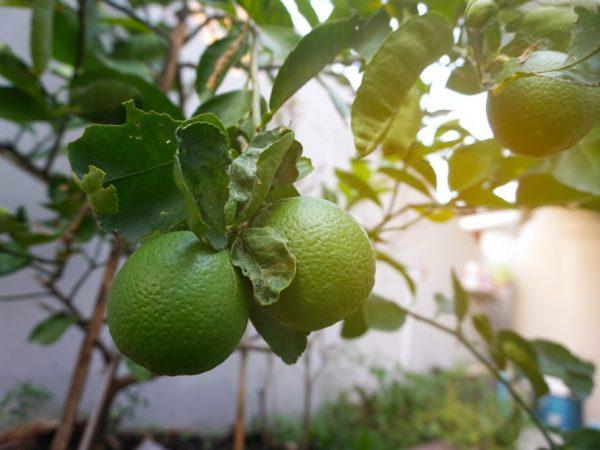 У лимона желтеют и скручиваются листья