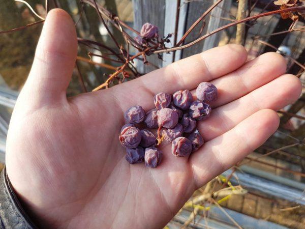 У винограда сохнут ягоды и вянут кисти