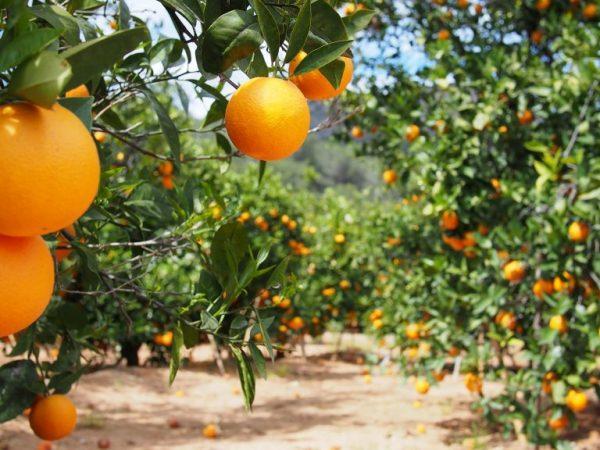 Апельсиновое дерево сулит хорошие новости