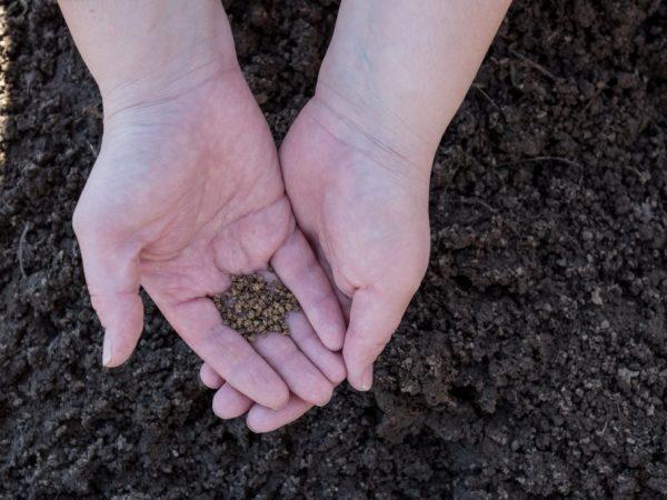 Семена необходимо подготовить к посадке