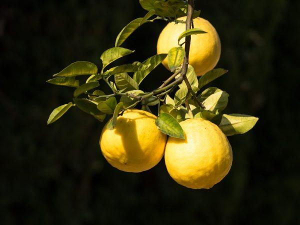 Плоды сорта Пандероза сладкие