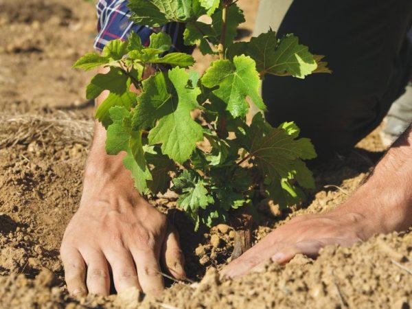 Сажать виноград нужно на безветренном участке