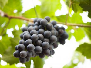 Условия содержания винограда осенью
