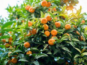 Выращивание мандарина Уншиу