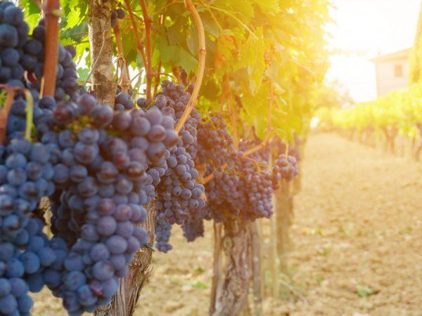 Описание винограда Венус