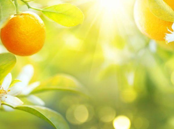 Дерево может плодоносить 150 лет